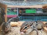 自家养荷兰猪豚鼠兔子仓鼠刺猬