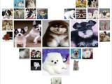 深圳养殖场直销 出售世界名犬丨宠物狗狗丨全国免费送货