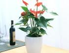 武汉供应大量冬季开花的苗木花卉月季茶花,武汉迎春花一品红