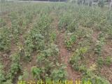 济源金香猕猴桃苗 价格优惠 易成活产量高