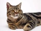 猫舍出售纯种美国银虎斑猫 虎斑猫多少钱一只 虎斑猫图片价格