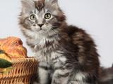 浙江嘉兴精品双血统缅因猫一般多少钱