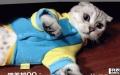 超萌小折耳猫,超级温顺亲人,无偿领养,只求是个好人