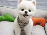 阜沙专业繁育大中小型宠物犬 保证健康 可送上门