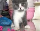 出售纯种猫咪,英短蓝白,加菲,虎斑