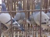 出售天落鸟还有刚下地的小鸽子