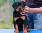 正规犬舍繁殖精品纯种罗威纳幼犬 忠诚犬 包纯种健康