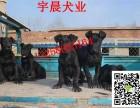 二三个月的黑狼犬幼崽多少钱 纯种黑狼犬小狗的图片价格