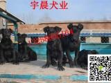 3个月的纯种黑狼犬多少钱一只小黑狼犬的训练视频