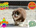 纯种韩系泰迪幼犬健康质保 购买可签订协议