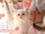 家养纯种布偶蓝双色布 海豹双色布偶猫手套山猫布
