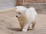 青岛纯种萨摩耶多少钱在青岛什么地方能买到纯种萨摩耶犬
