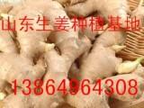 山东大姜种子批发山东大姜种子产地价格