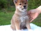 石家庄本地犬舍繁殖精品罗威纳吉娃娃柴犬,等几十种品种