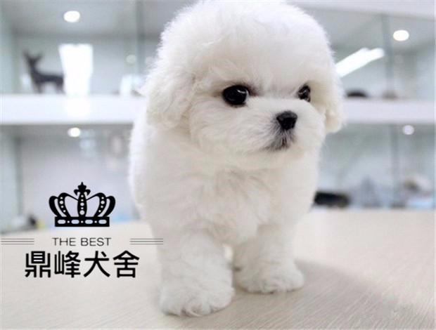 精品卷毛比熊幼犬 甜美可爱 专业繁殖犬舍保证健康