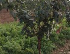 苗圃出售紫叶稠李绿化苗木乔木花灌木类红叶碧桃等