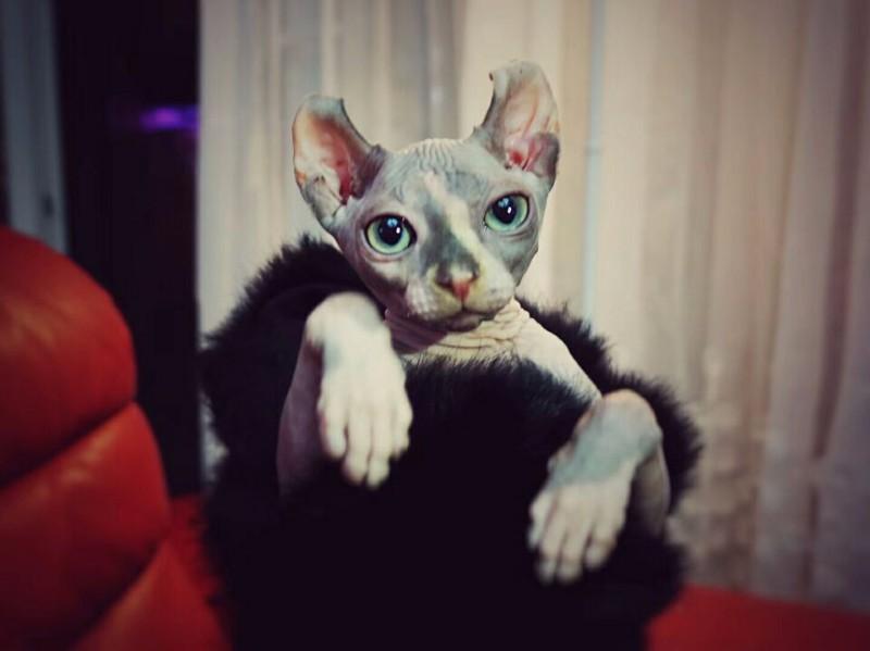斯芬克斯无毛猫比鲁斯咕噜猫精灵卷耳宠物猫