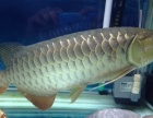 因鱼缸小,出50左右的大金龙鱼