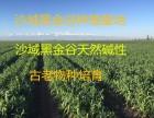 野生燕麦黑冬谷黑小麦血钻野燕麦黑金谷种植基地批发价格