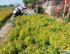 天津蓟县邦均苗木花卉批发市场