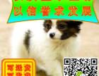 哪里卖纯种可爱的蝴蝶犬的 纯种蝴蝶犬多少钱的