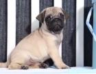 重庆哪里出售巴哥犬 重庆家宠物店信誉好