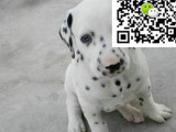 哪里有卖斑点狗 斑点狗多少钱 斑点狗图片