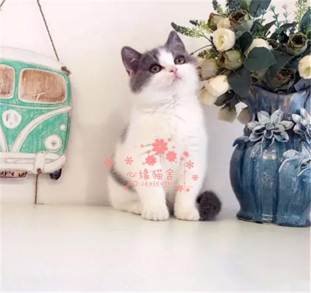 哈尔滨哪里卖蓝猫较便宜多少钱一只 购买包健康多久