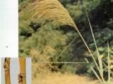 蘆根提取物 蘆根單方顆粒 蘆根復方顆粒