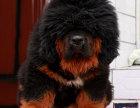 纯种藏獒幼犬出售,诚信为本,品质保,毛色**