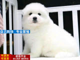 萌萌哒微笑天使纯种萨摩耶幼犬疫苗做齐免费送上门