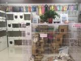 美国CFA注册猫舍,出售各种精品名猫,可上门