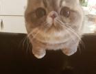 异国短毛猫 加菲猫 蓝虎斑弟弟