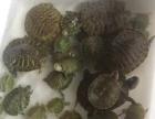 出售宠物龟,彩色蜗牛