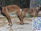 新疆哪里有卖马犬的 马犬大概多少钱一只 哪里可以买到马犬
