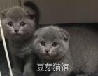 豆芽猫馆常年出售各类名猫 猫咪宝宝带回家