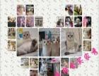 【精品猫舍】出售蓝猫、渐层、蓝白短毛猫【签协议】