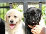 狗场出售拉布拉多幼犬 黑色 金色 奶白色 多只待售