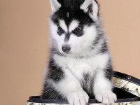 哈士奇雪橇犬三个月 驱虫疫苗已做完 购买签订活体协议