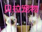 《贝拉宠物》精品银渐层蓝猫金吉拉猫美短,欢迎比价