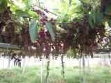 野香蕉种苗八月瓜苗批发基地