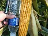 正规玉米品种高产玉米新品种士海718