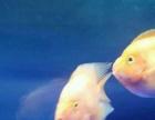 低价打包三条大的鹦鹉鱼