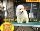 国内较大繁殖基地 出售双血统微笑天使萨摩耶幼犬