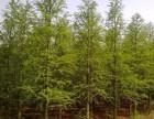 北美红杉树苗(美国红杉树苗)