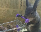 松鼠养殖场一手出货全国批发零售魔王松鼠金花松鼠保证低价
