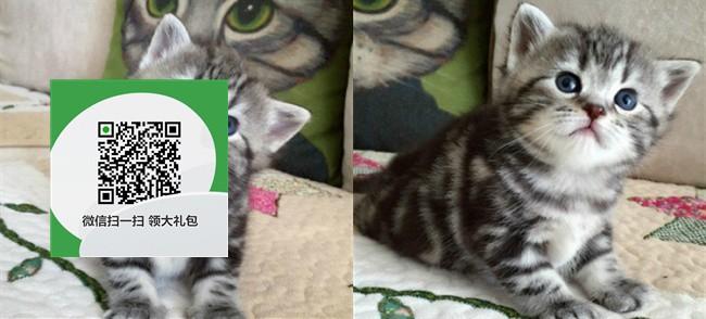 楚雄哪里开猫舍卖虎斑猫 去哪里可以买得到纯种虎斑猫