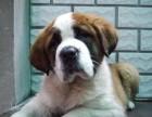 南宁哪有圣伯纳犬卖 南宁圣伯纳犬价格 南宁圣伯纳犬多少钱
