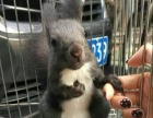 长期出售魔王松鼠幼崽,金花松鼠幼崽