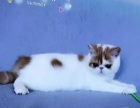 宠物猫加菲猫